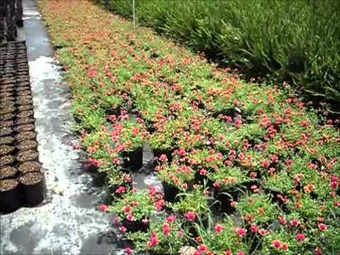 Pink Yellow Purslane Best Shrubs For Florida Landscaping