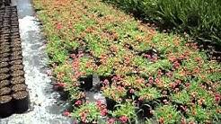 Pink Yellow Purslane - best shrubs for florida landscaping