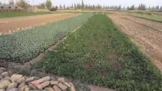 Турфан виноградный(, 2015-03-04T08:52:52.000Z)