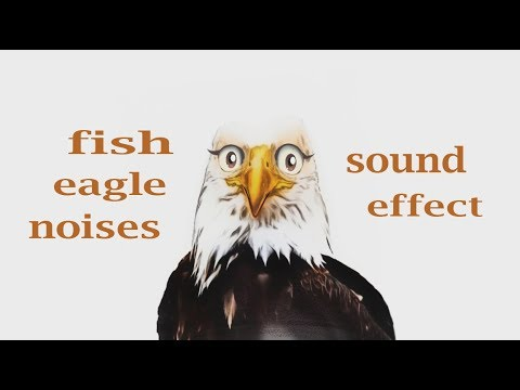 How A Fish Eagle Sounds / Animation