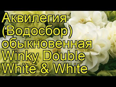 Аквилегия обыкновенная Винки Дабл Вайт энд Вайт. Обзор aquilegia vulgaris Winky Double White & White