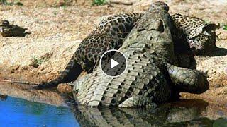 Крокодилы съели ягуара. Битвы животных. Клондайк тв