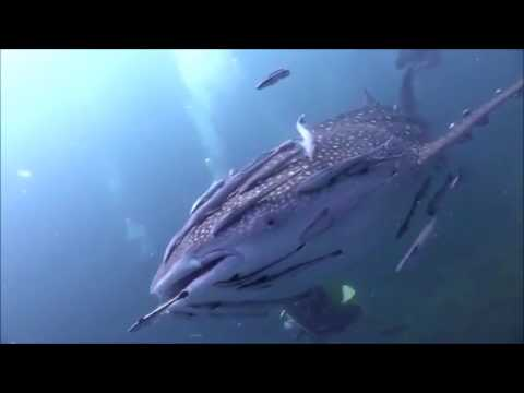 Amazing Footage-- A Whale Shark Covered With Remora Fishes !! ( COMMENSALISM)