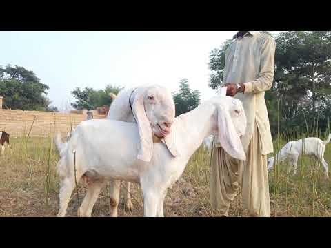 Bakri palan Ka Tarika goat farming Karne Ka Tarika - YouTube