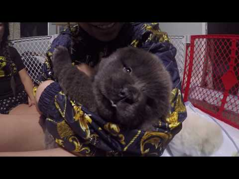 Dog Breed: Chow Chow Pups 8 Weeks
