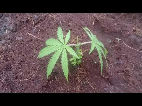 Марихуану вырастить почва семена бесплатно марихуаны