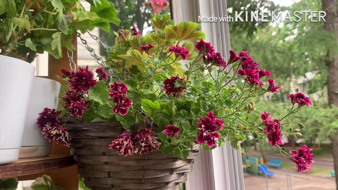 Jagershus Falej/Пеларгонии цветут/Комнатные растения