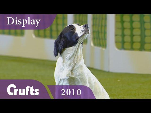 Kipperridge Gundog Display at Crufts 2010 | Crufts Classics