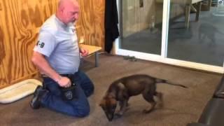 Maya Aguilar Dark Sable German Shepherd Puppy Training