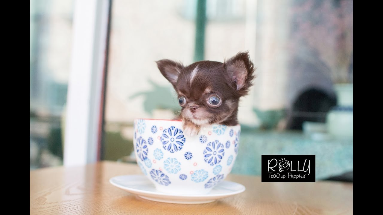 Adorable Heart Attack Teacup Chihuahua Peanut Rolly