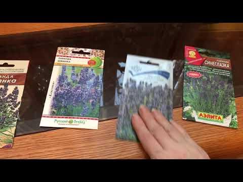 Выращивание лаванды из семян. Самый простой способ