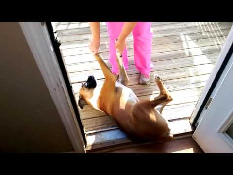 Boxer Refusing To Go Outside. Funny!
