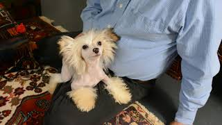 MythicKingdom Chinese Crested Prince Cobalt Jan 26 2020
