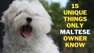 15 Unique Things Only Maltese Dog Owners Understand