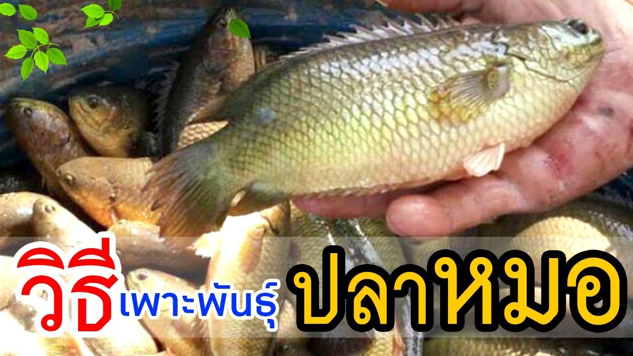 วิธีเพาะพันธุ์ปลาหมอไทย ในบ่อปูน | เพื่อเป็นแนวทางให้แก่เกษตรกร
