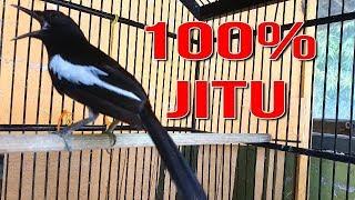 Download PANCINGAN 100% JITU. Banyak kacer LANGSUNG BUNYI dengan suara khas kacer ini