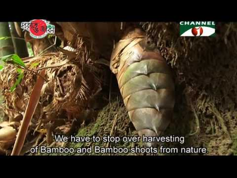 Nature and Life - Episode 229 (Variegated Bamboos)