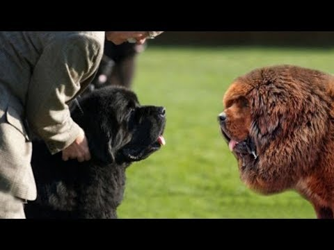 Tibetan Mastiff VS Newfoundland Dog
