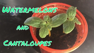 Growing Watermelon And Cantaloupe From Seed