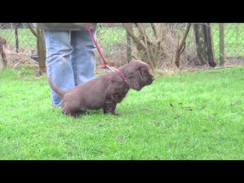 """Shelly"" Sussex Spaniel Puppy Training"