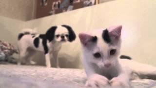 最近拾った猫、 いくらちゃんが遊んでるのを 後ろから見ているたらちゃん。