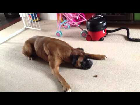 Maggie boxer dog being stupid 2012