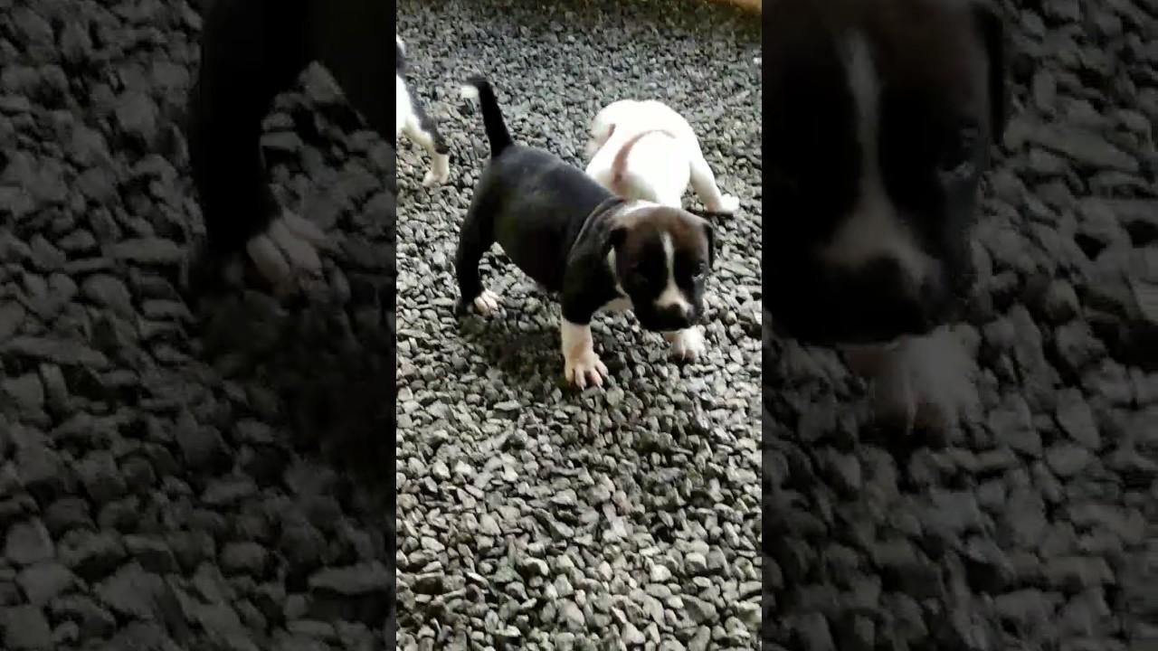 Pitbull Dog Pappy Sale In Kerala Ph 9947455640 Youtube