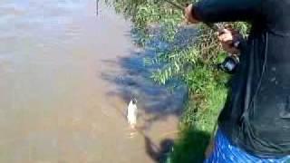 pesca de sabalos al toque