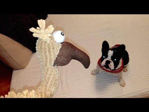 Pixel the French Bulldog vs. Gustav the Vulture