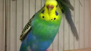 Female Budgie/Parakeet(Viola)(Волнистых попугаев)