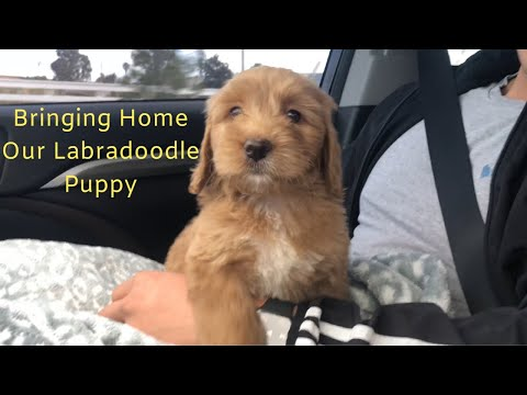 Bringing Home Our New Labradoodle Puppy