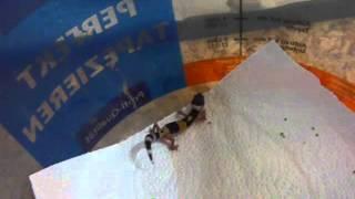 Baby-Leopardgecko - Schreit ganz laut
