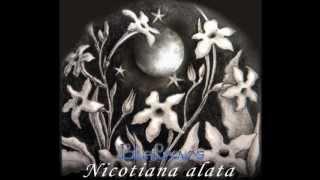 Nicotiana Alata (Regina Noptii) - Landscapes Album  - Blue Leaves