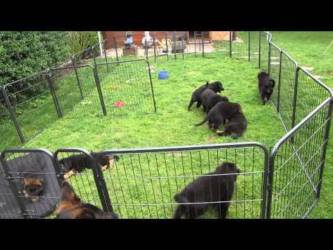 Altdeutsche Schäferhund Welpen vom Schaumburg-Castle fast 8 Wochen alt