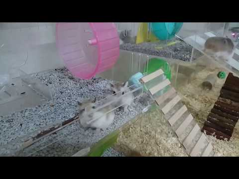 My roborovski hamster and their cage...