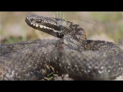 Как выманить змею