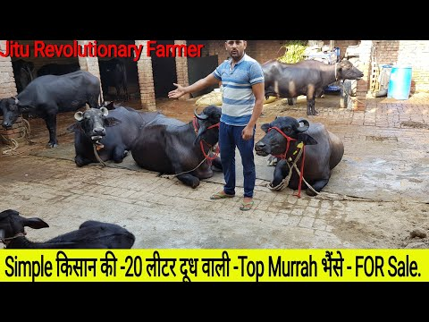 👍FOR SALE: 25 KG Milk -TOP Buffaloes Available for Buyers@ SONU Sandhu Dairy Farm @ Panipat.👍