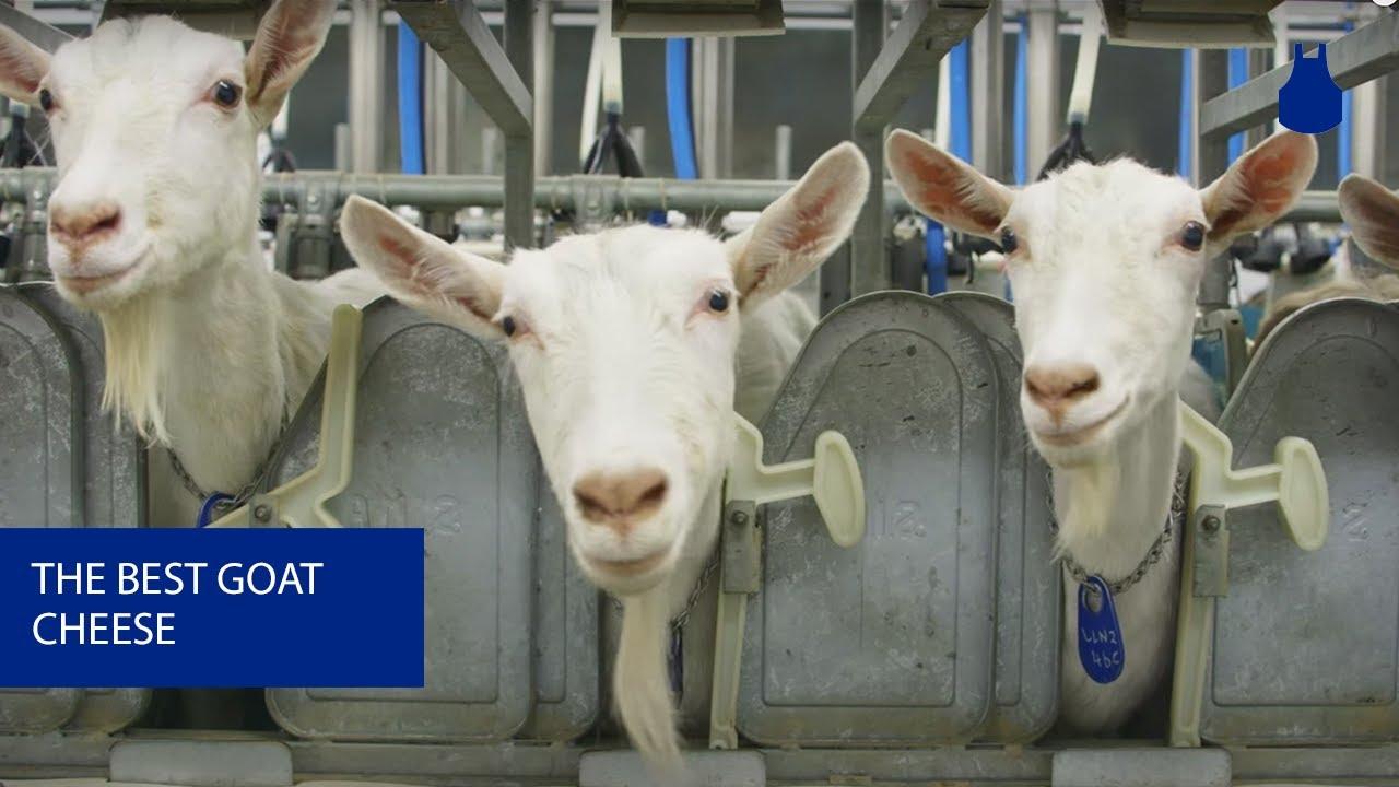 goat - photo #24
