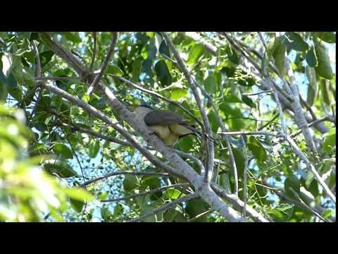 Mangrove Cuckoo in Dagny Johnson KLH Botanical SP