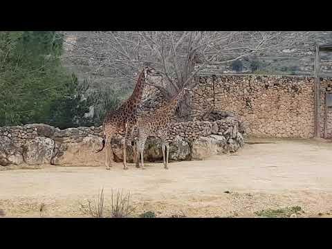 Transvaal giraffe courtship