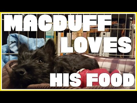 MacDuff The Scottish Terrier LOVES his Homemade Food!