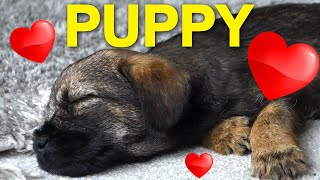 A 10 Week Old Beautiful Border Terrier Puppy Dog  100 Golden Moments Caught On My Camera #  20