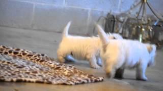 Westie Puppies For Sale Levi Beiler