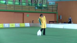 Dog Dance Japan Competition 2016 in Woof  Rintarou(Maltese)