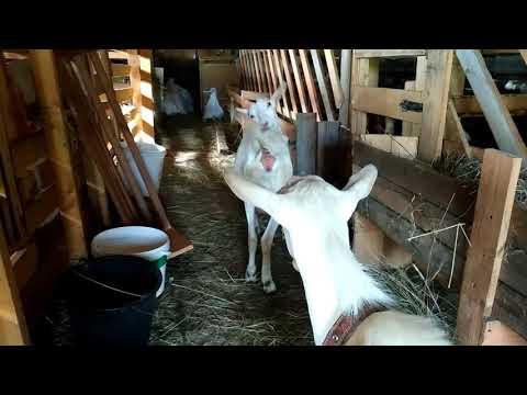Козы в охоте?😱😵!Пробуем покрыться.Способен ли маленький козёл?