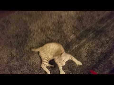 """Highlander cat """"Thumber"""" playing fetch"""