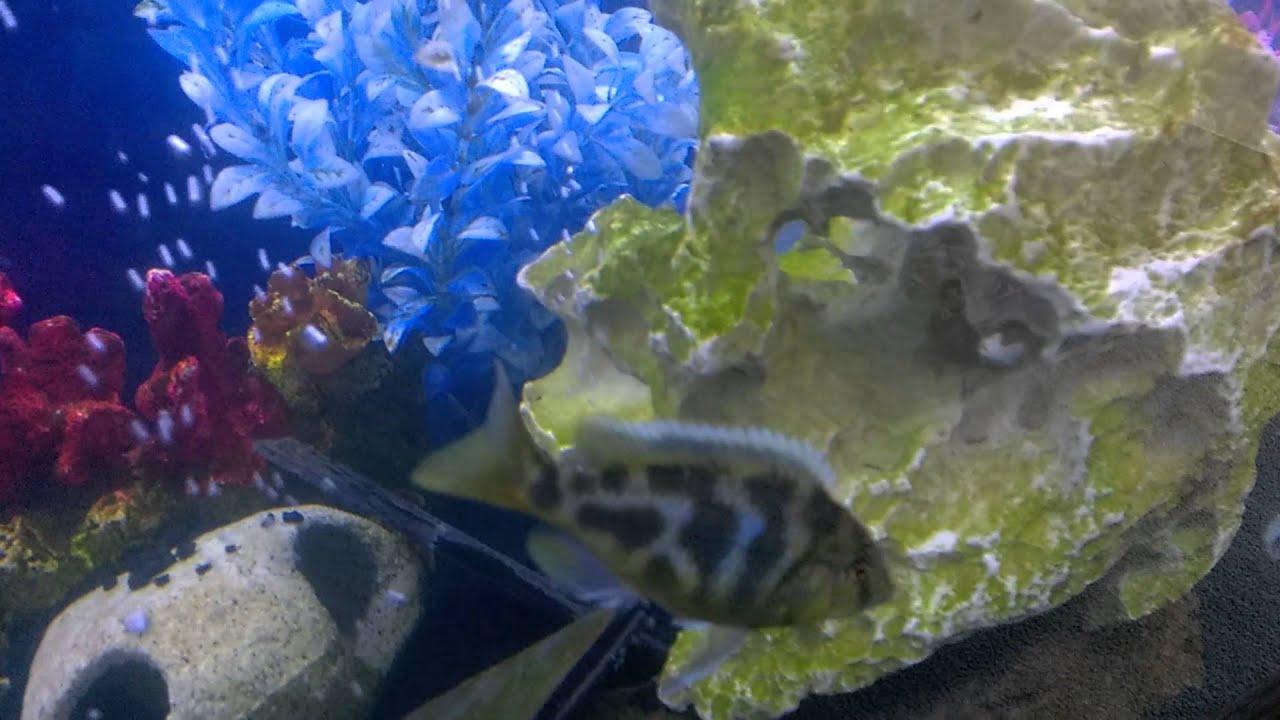African cichlid algae bloom post sterilization youtube
