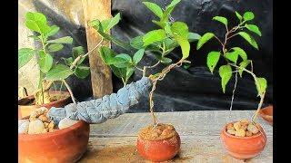 guava bonsai making
