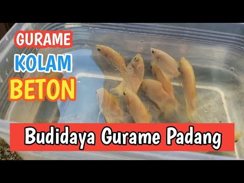 Memelihara Ikan Gurame Padang Di Kolam Beton Youtube