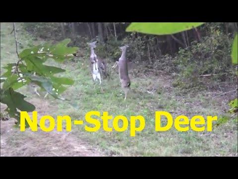 Non-Stop Deer~Carolina Whitetails